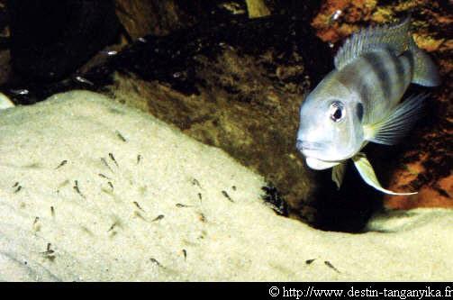 Limnochromis auritus - auritus
