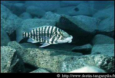 Lobochilotes labiatus - labiatus